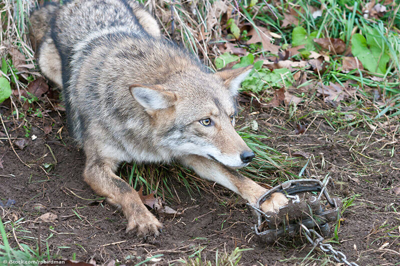 A coyote caught in a steel leg trap