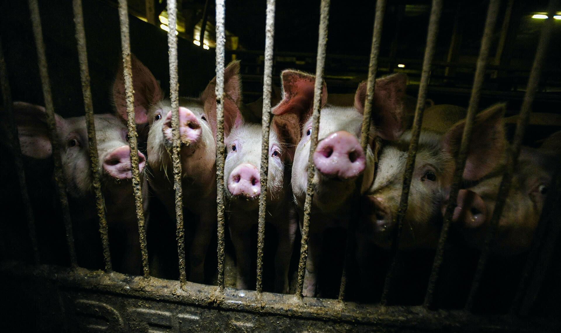 Industrial pig farming.